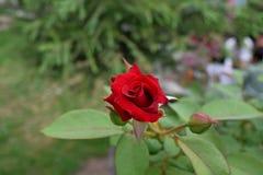Rosa natural do vermelho Imagens de Stock