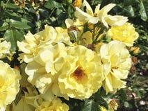 Rosa natural hermosa del amarillo en el jardín imagen de archivo libre de regalías