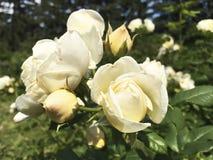 Rosa natural hermosa del rosa en el jardín imágenes de archivo libres de regalías