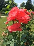 Rosa natural hermosa del rojo en el jardín imagen de archivo libre de regalías