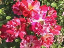 Rosa natural hermosa del rojo en el jardín imagenes de archivo