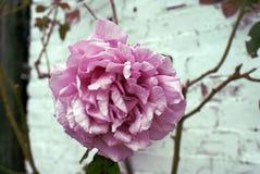 Rosa natural inglesa del vintage imagenes de archivo