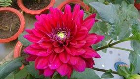 Rosa naturlig skönhet Royaltyfri Foto