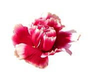 Rosa nejlika Royaltyfria Foton