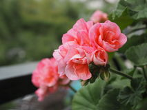 Rosa nejlika i bloom_close-up royaltyfri fotografi