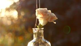 Rosa nejlika i en vas på solnedgångbakgrund stock video