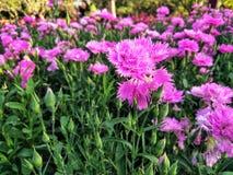 Rosa nejlika i trädgården royaltyfria bilder