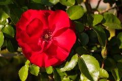 Rosa nel giardino Immagini Stock