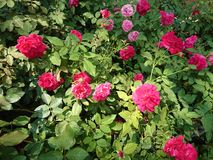 Rosa nel giardino Fotografia Stock