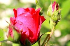 Rosa nel giardino Fotografie Stock