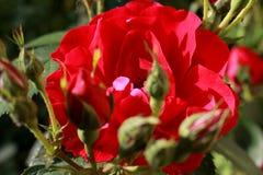 Rosa nel giardino Immagini Stock Libere da Diritti