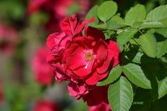 Rosa nel sole luminoso di giugno Fotografie Stock
