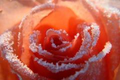 Rosa nella neve Fotografia Stock