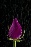 Rosa nella pioggia Fotografia Stock