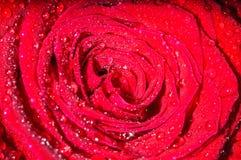 Rosa nella rugiada fotografia stock