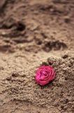 Rosa nella sabbia Immagine Stock