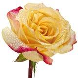 Rosa nelle gocce di acqua Immagine Stock Libera da Diritti