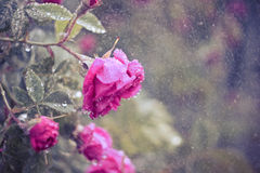 Rosa nelle gocce di pioggia Immagine Stock Libera da Diritti