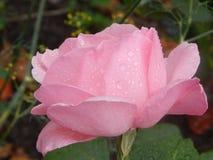 Rosa nelle goccioline Immagini Stock
