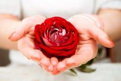 Rosa nelle mani Immagini Stock