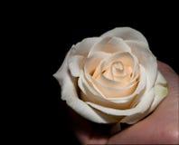 Rosa nelle palme della donna Fotografia Stock Libera da Diritti