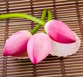 Rosa Nelumbo nucifera Blumen, Abschluss oben, lokalisierter, hölzerner Hintergrund Lizenzfreie Stockbilder