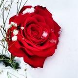 Rosa nevado Imagem de Stock Royalty Free