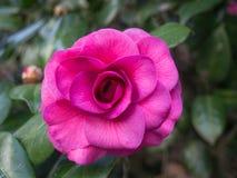 Rosa no Bok Imagem de Stock Royalty Free