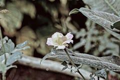 Rosa no branco Foto de Stock Royalty Free