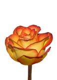 Rosa no branco Fotos de Stock Royalty Free