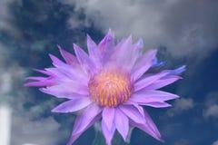 Rosa no céu, exposição múltipla de Lotus Foto de Stock