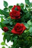 Rosa no flowerpot. Fotografia de Stock Royalty Free