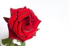 Rosa no fundo branco Imagem de Stock