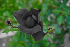 Rosa no fundo preto mantido na cor fotos de stock royalty free