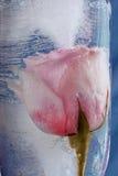 Rosa no gelo Imagem de Stock Royalty Free