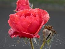 Rosa no inverno Imagens de Stock