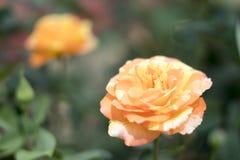 Rosa no jardim fotos de stock