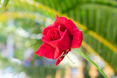 Rosa no jardim Imagens de Stock Royalty Free