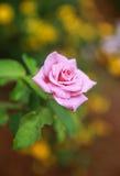 Rosa no jardim Imagem de Stock Royalty Free