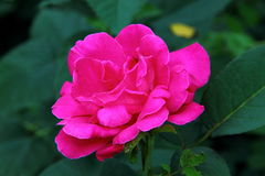 Rosa no jardim Fotografia de Stock