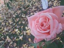 Rosa no jardim do outono fotografia de stock