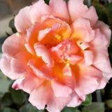 Rosa no outono Fotografia de Stock Royalty Free
