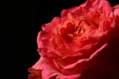 Rosa no preto Foto de Stock