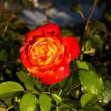 Rosa no verão Fotografia de Stock Royalty Free