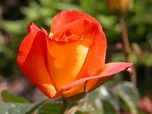 Rosa nossa Jane Imagens de Stock Royalty Free