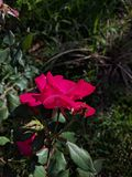 Rosa noturno Foto de Stock Royalty Free