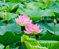 Rosa Nuphar blüht, Grünfeld auf See, Seerose, Teichlilie, Spatterdock, Nelumbo nucifera, alias indischer Lotos Stockbild