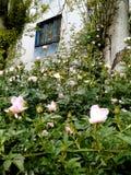Rosa nyponblommor under fönstret Hus med blåa väggar arkivbild