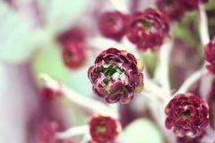 Rosa o planta suculenta púrpura Foto de archivo libre de regalías