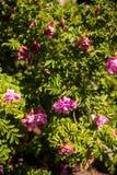 Rosa oavkortad blom för romantisk roadrunner royaltyfri bild